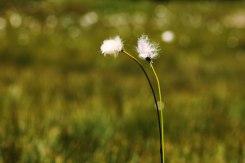 Obergurgle-dag1-blomma