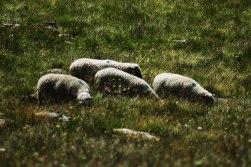 Ramolhaus-dag2-får